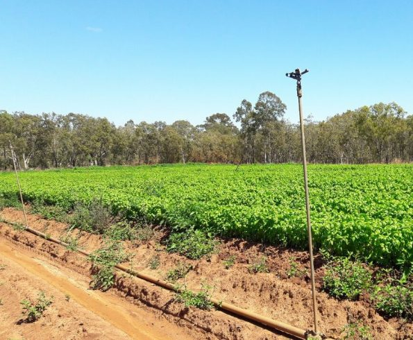 Basil Farm in Mareeba