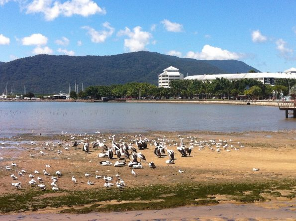 Sighting of pelicans in Cairns